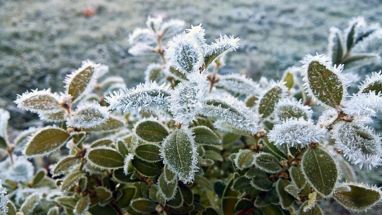 Frosted Plants During Hard Freeze