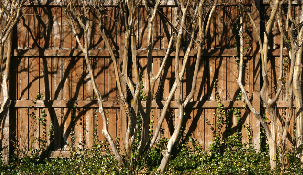 Crepe Myrtle Against Fence